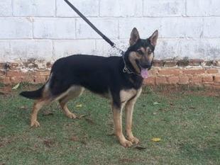 Cora do Caio Work Dog's