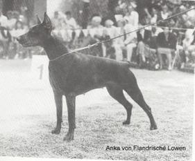 Anka vom Flandrischen Löwen