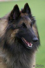 Kabor Dog Arabat