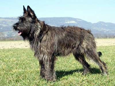 Picardy Sheepdog