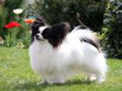 Kontinental toy spaniel / Papillon