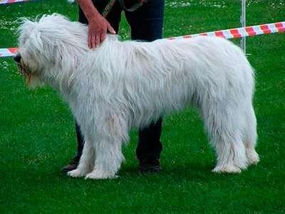 南俄罗斯牧羊犬