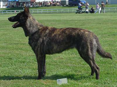 荷蘭牧羊犬