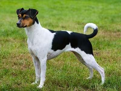 Brasiliansk terrier