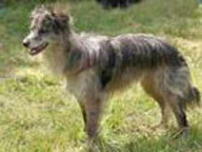 庇裡牛斯山短毛牧羊犬