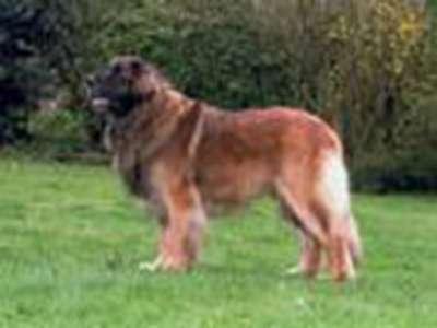 德國獅子牧羊犬