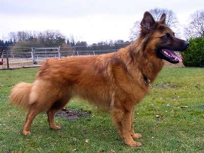 老式德国牧羊犬