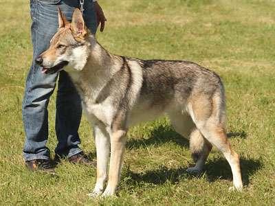 Tjekkisk Ulvehund