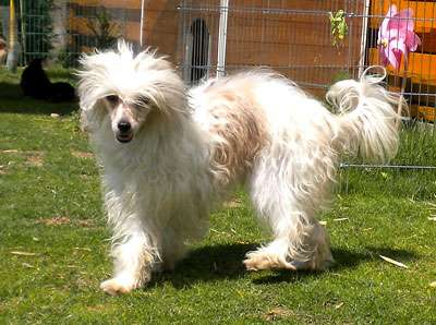 Chinese Crested Dog (Cane Nudo Cinese)