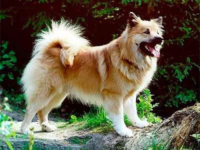 Islandský pes