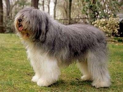 波蘭低地牧羊犬