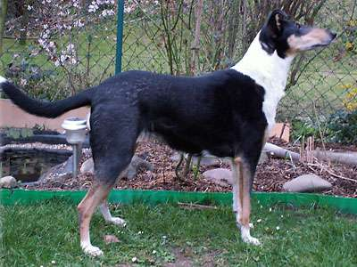 Collie a Poil Court