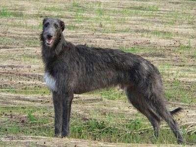 Skót szarvasagár