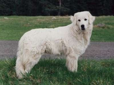 斯洛伐克山區牧羊犬
