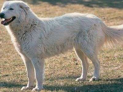 Maremma and the Abruzzes Sheepdog