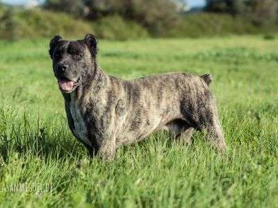 Saint Miguel Cattle Dog