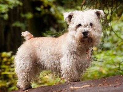 Irischer Glen of Imaal Terrier