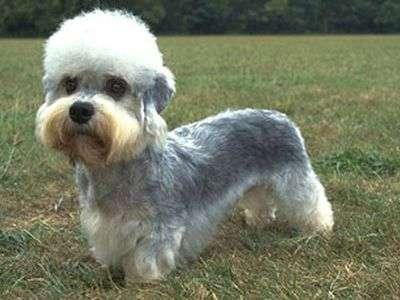 Dandie Dinmont-terrier