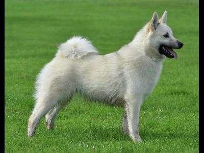 Norwegischer Buhund