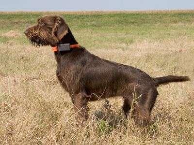 德國水溝指示犬