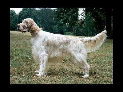 英國槍獵犬