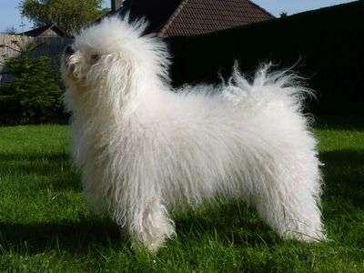 Bolonský psík