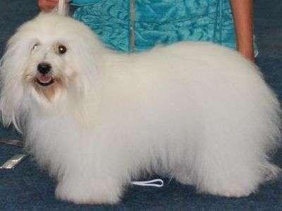 马达加斯加绵毛犬