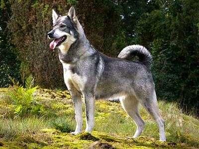Black Akita Dog Pictures