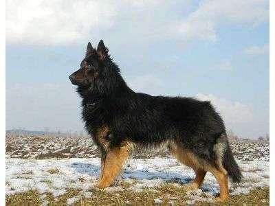 Bohemian Shepherd