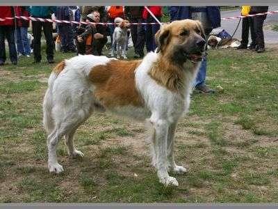 Český horský pes