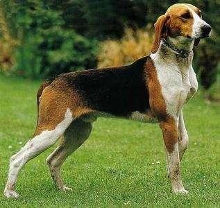 Grosser Anglo-Französischer Dreifarbiger Laufhund