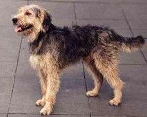 Stichelhaariger Bosnicher Laufhund – Barak