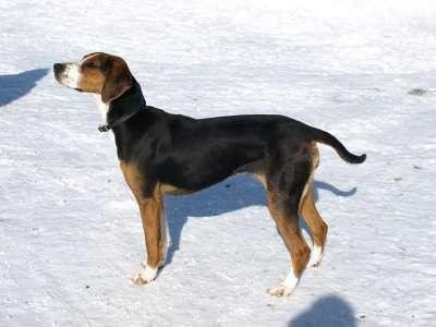 Finnischer Laufhund