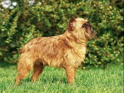 布鲁塞尔格林芬犬