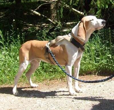 Spanischer Laufhund