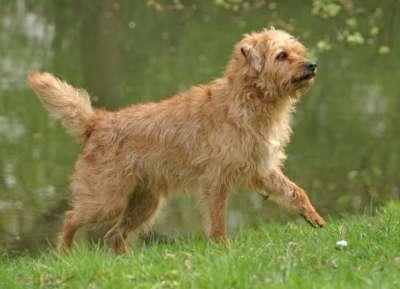 Holländischer Smoushund