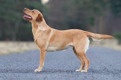 拉布拉多獵犬