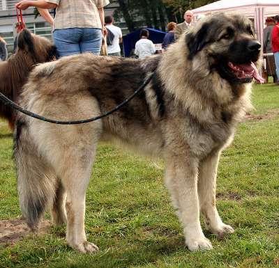Jugoslawischer Hirtenhund