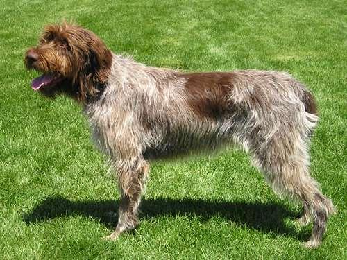 Französischer Rauhhaariger Vorstehhund (Korthals)
