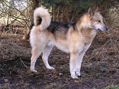 Groenlandhund