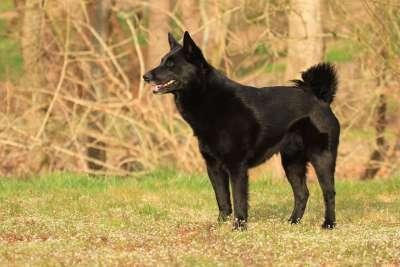 Norwegischer Elchhund Schwarz