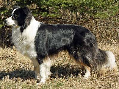 边界牧羊犬