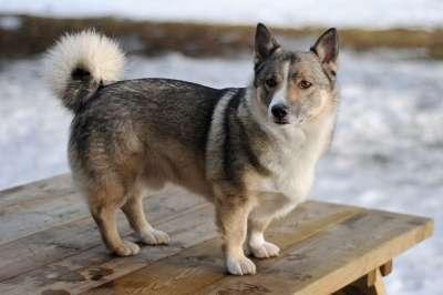 Schwedischer Wallhund