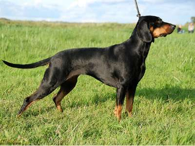 Polish Scenthound
