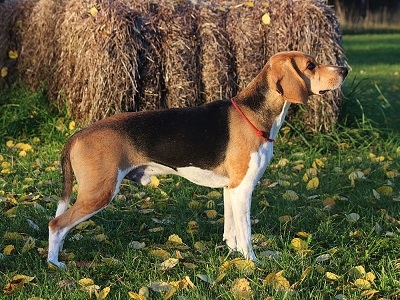 Estonian Hound