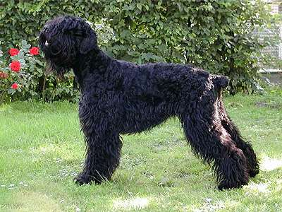 Russian sort terrier