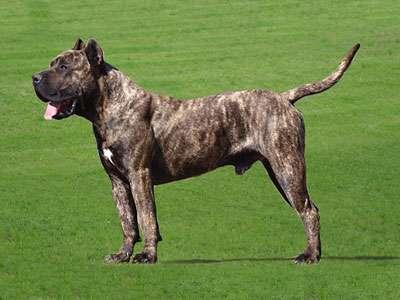 Kanári-szigeteki kutya
