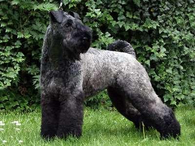 Kerry Blue Terrier