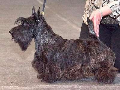 Terrier scoțian