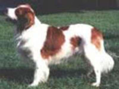 荷蘭獵鴨犬